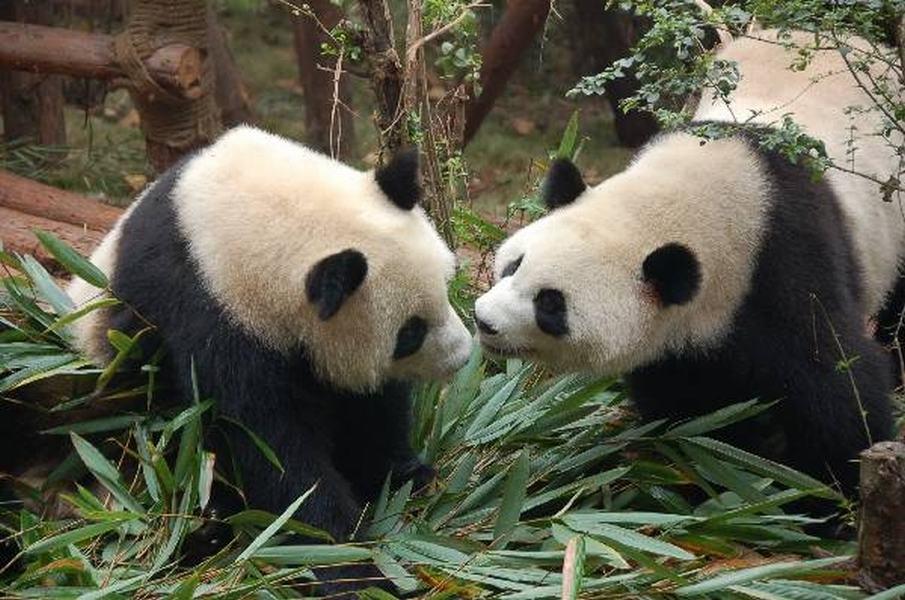 Osos Panda Chengdu, China