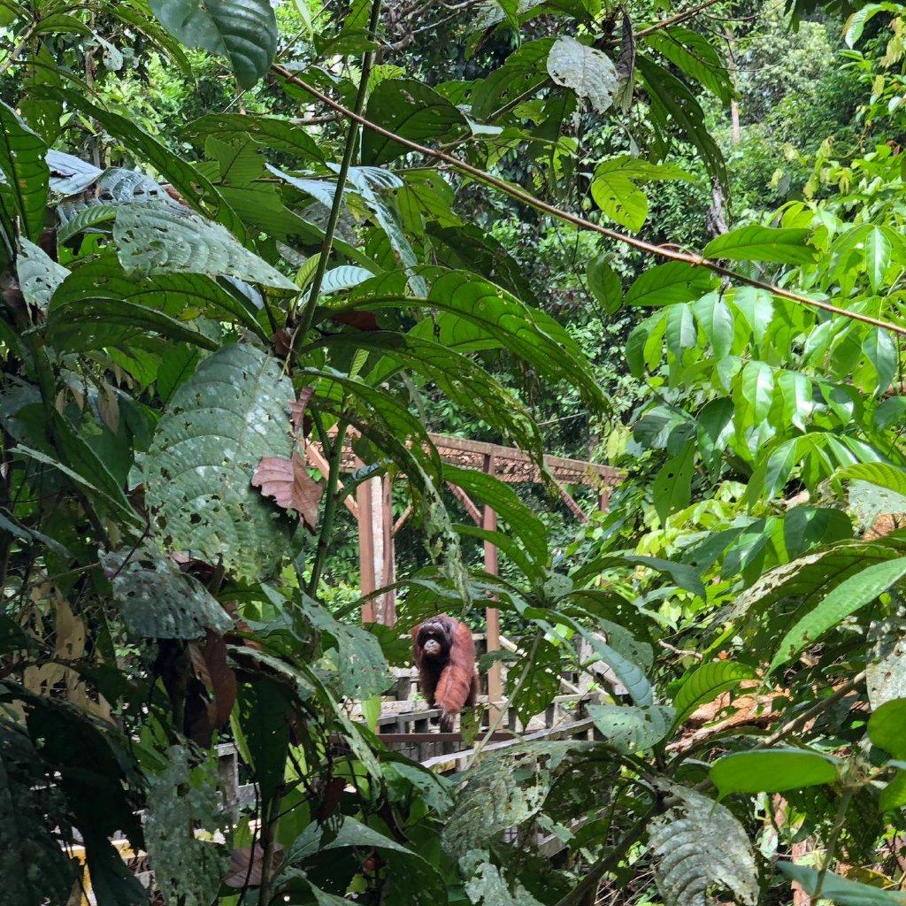 Sandakan, Borneo