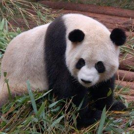 Chengdu-Panda bears