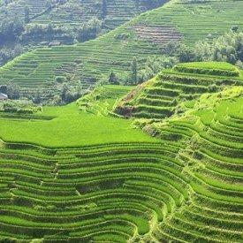 Yangshuo-Lon rice paddies