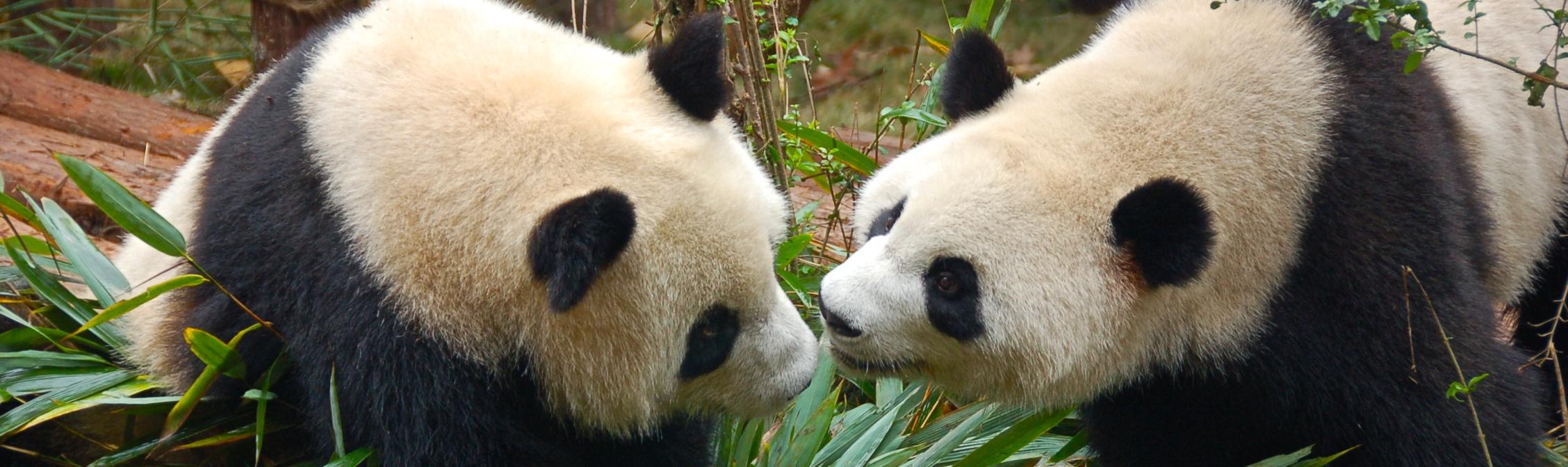 Oso panda Chengdu